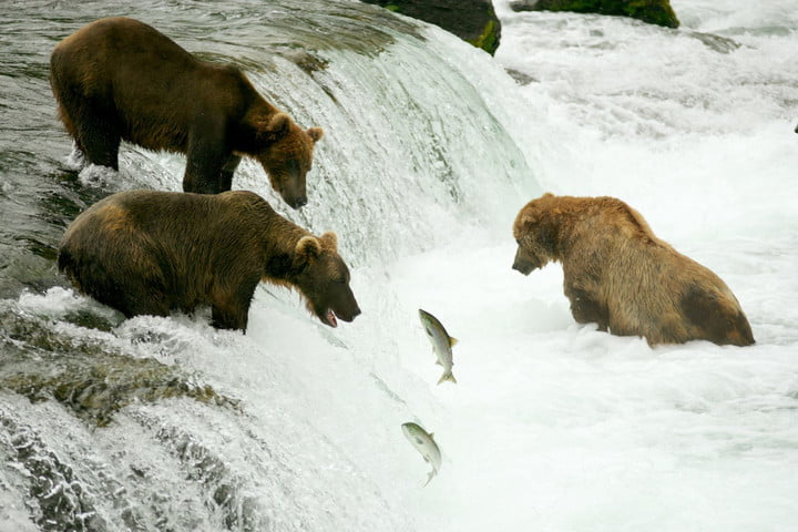 alaska bearcam 3421564  grizzly bears fishing for salmon brooks falls katmai np