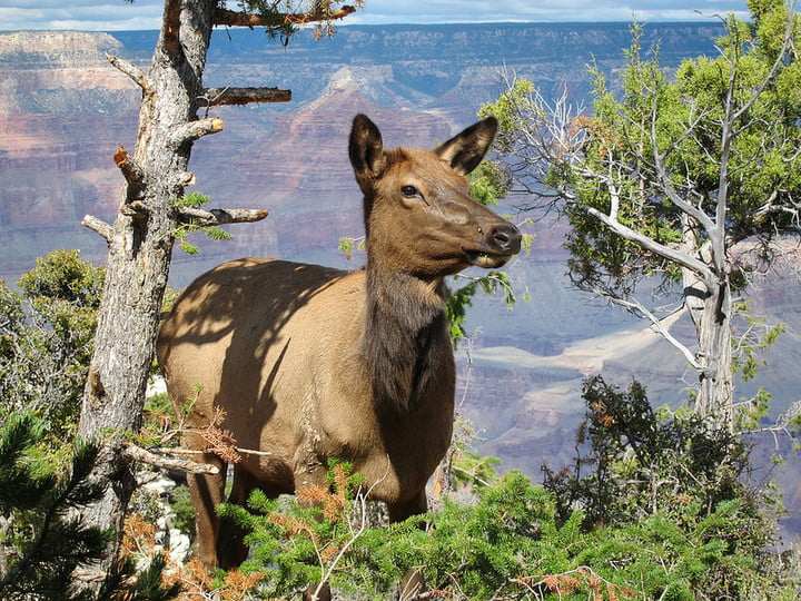woman charged elk yellowstone national park 7088555075 e4eb72404a c
