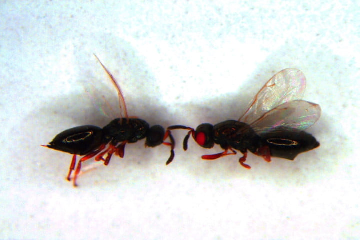 uc crispr red eyed wasps project second round mut wt image022