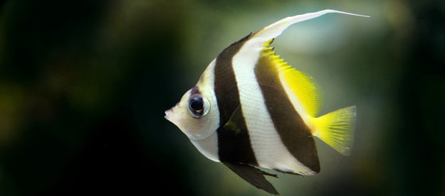 Angelfish swimming in a freshwater tank