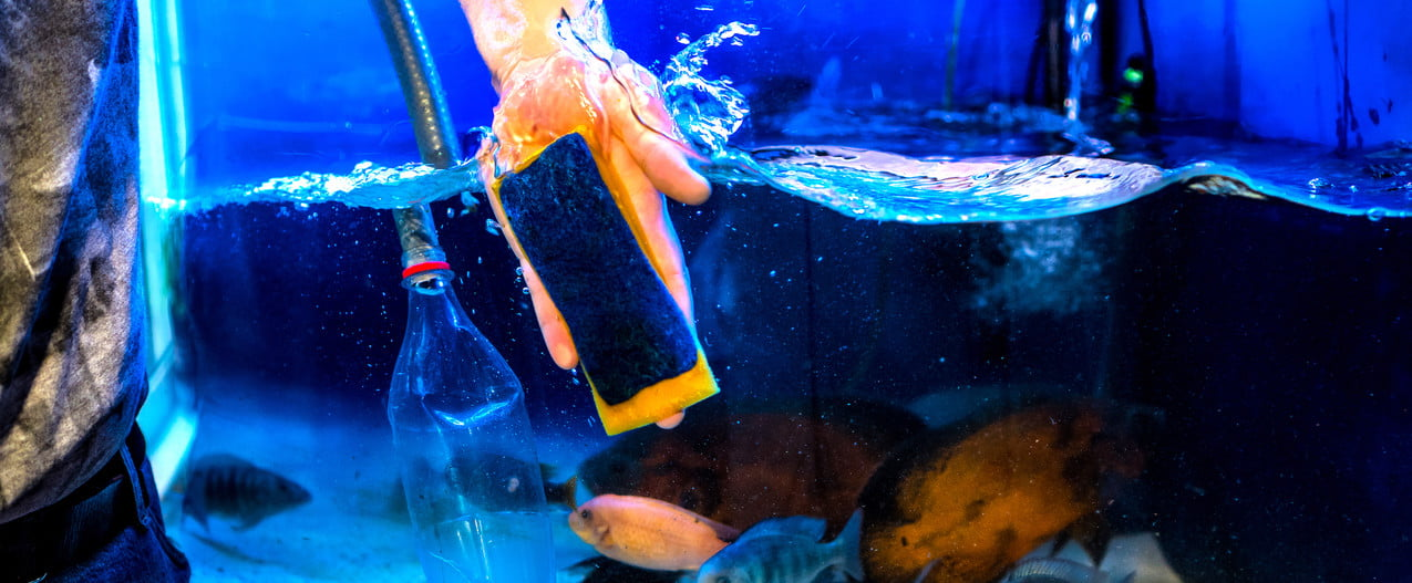 Man cleans fish tank with a sponge