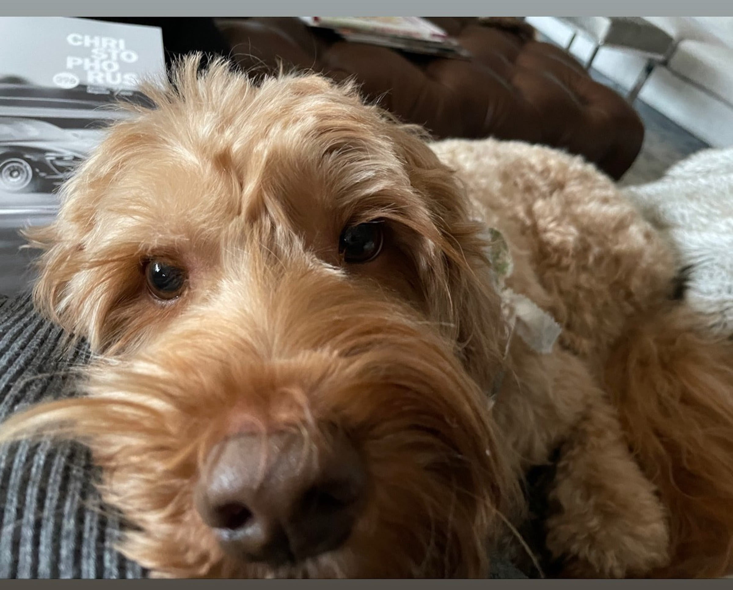 a brown australian labradoodle lies his head down and looks up at the camera