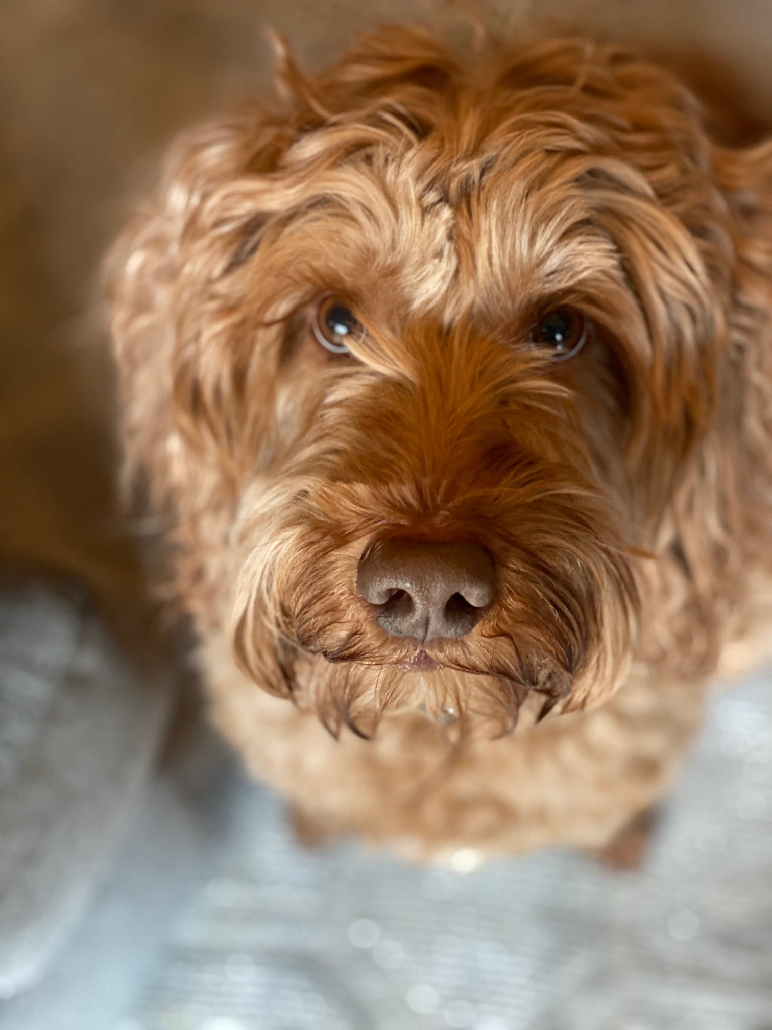 a brown australian labradoodle sits and looks up at the camera