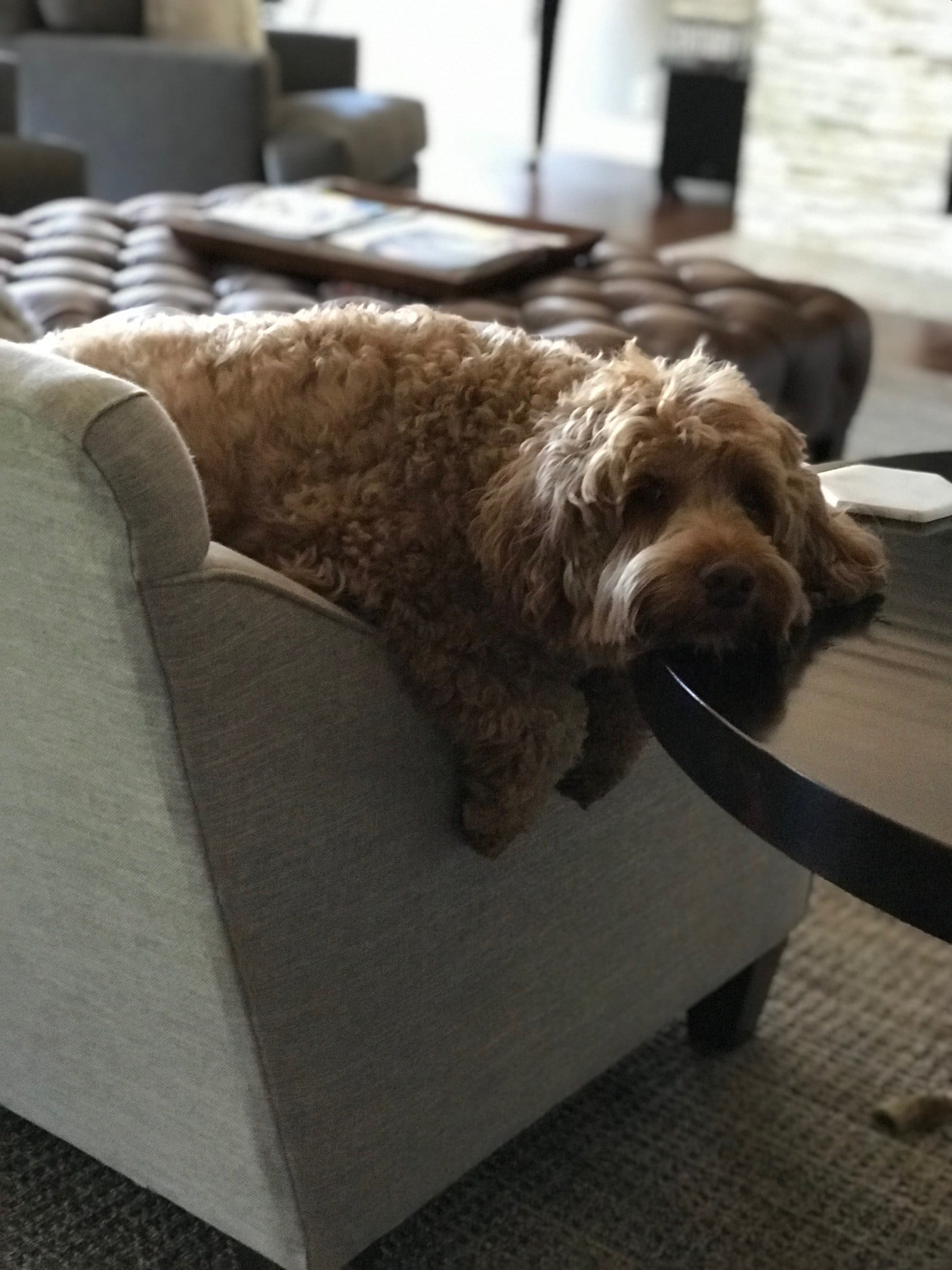 a brown australian labradoodle sits over an armchair and rests his head on a table
