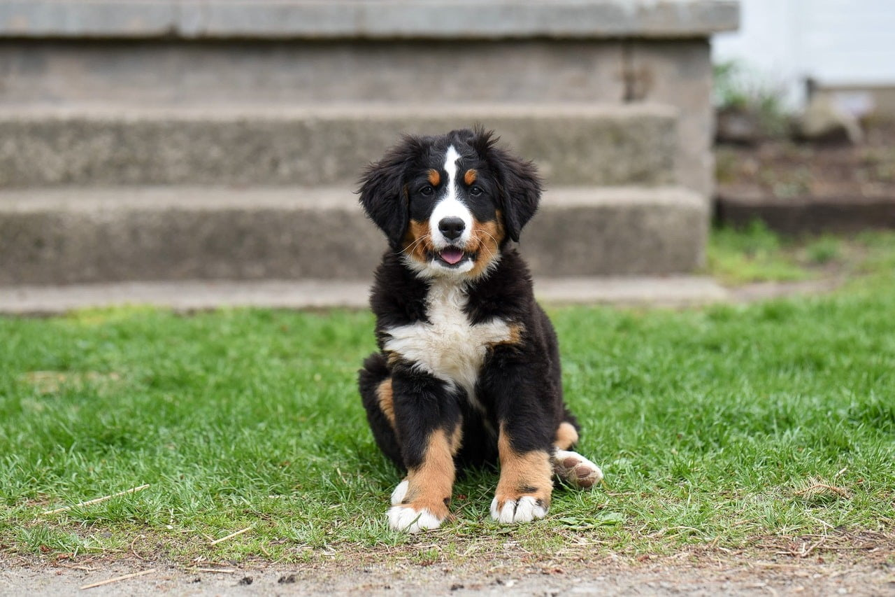 A Bernese Mountain Dog puppy sitting outside near a concrete monument.