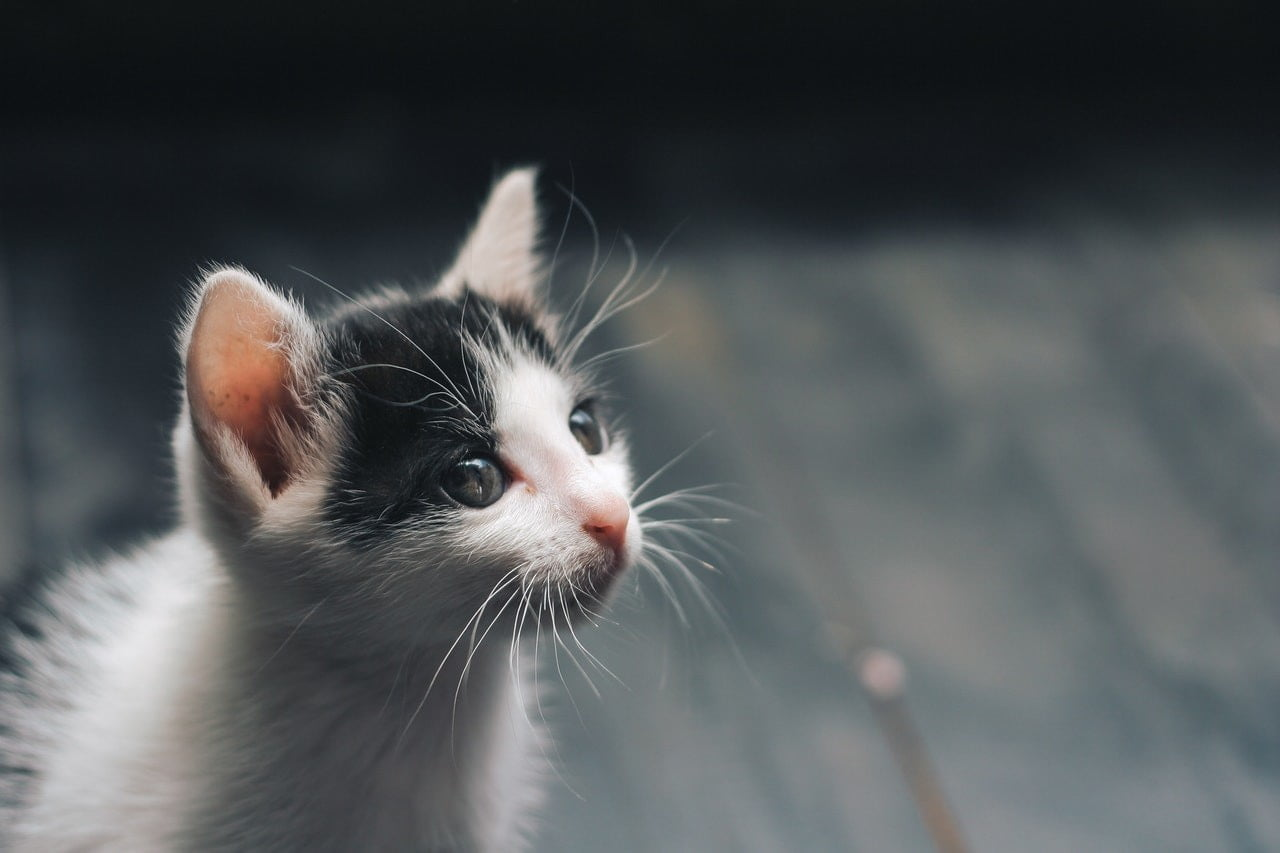 A tiny black and white kitten.