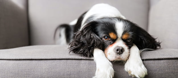 a tri-colored cavalier king charles spaniel lies with his paws under his chin on a gray couch
