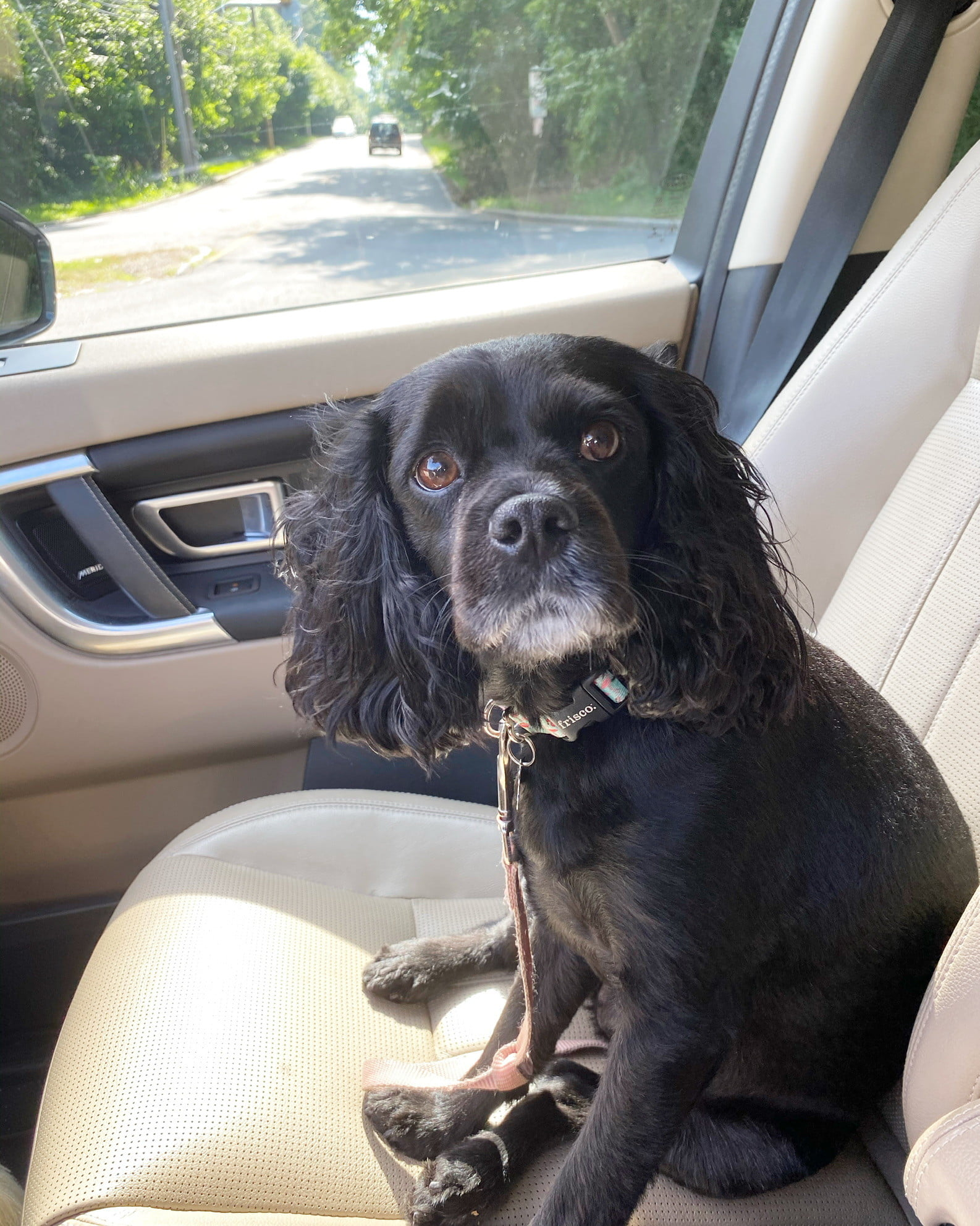 a black cavapoo sits in the sunshine in the passenger seat of the car