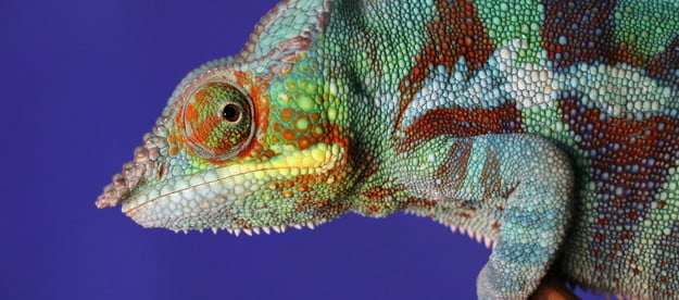 Colorful chameleon sits on a stick before a blue background