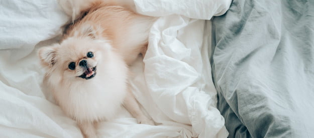 A cream colored Pomeranian lying in a bed covered in white sheets.