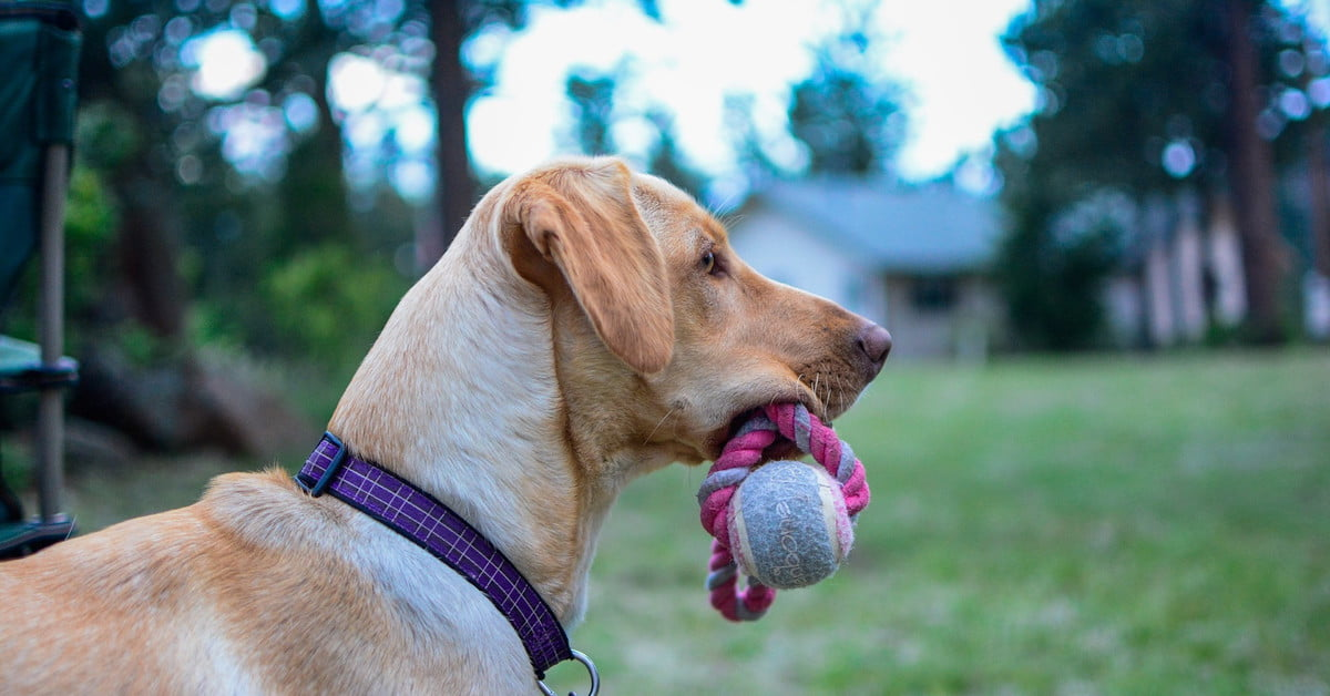 How to teach a dog to fetch in 5 easy steps | PawTracks
