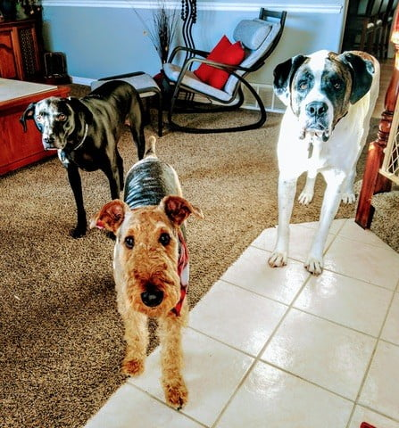 three dogs stand in their home: (from L to R) a black lab/pit/Dane mix, a brown and black curly terrier, and a white and brown s