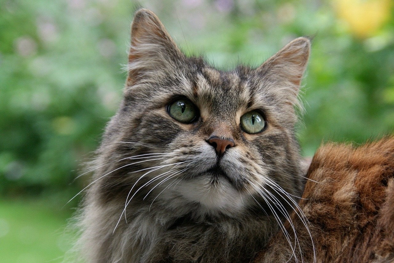 A brown Maine Coon cat with bright green eyes standing outside.