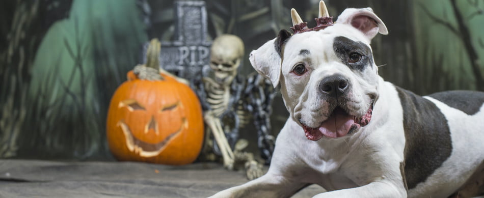 A pit bull wearing fake horns poses for a Halloween photoshoot by a jack-o-lantern