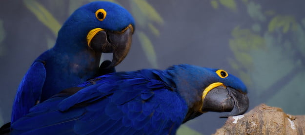 A pair of hyacinth macaws look quizzically