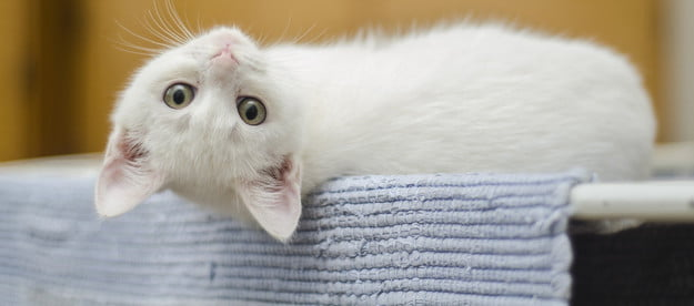 White kitten lying upside down looking over its shoulder