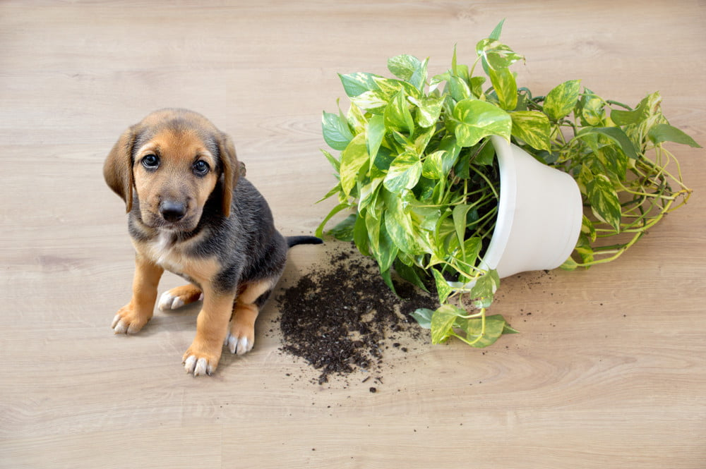 6 Indoor Plants That Are Safe For Your Dog | PawTracks