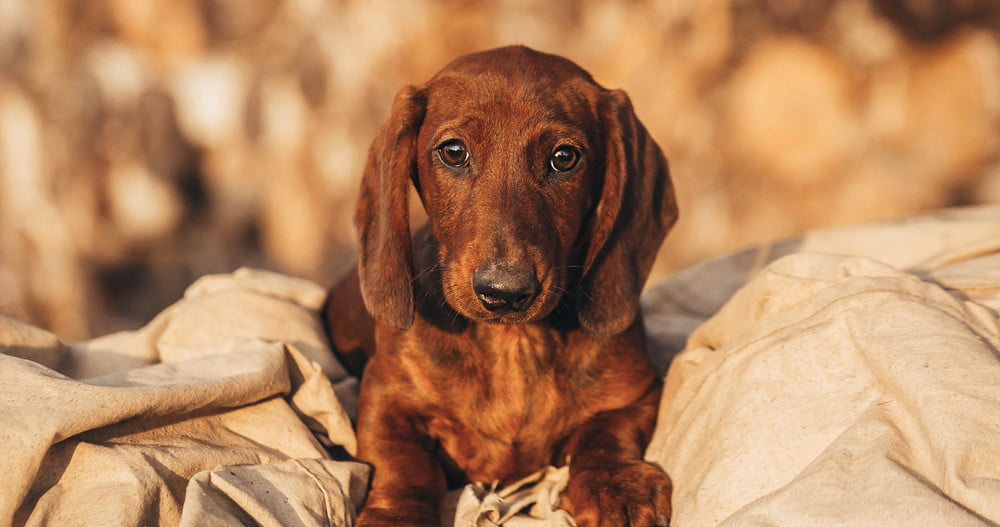 A brown Dachshund lying on a beige sheet outdoors.
