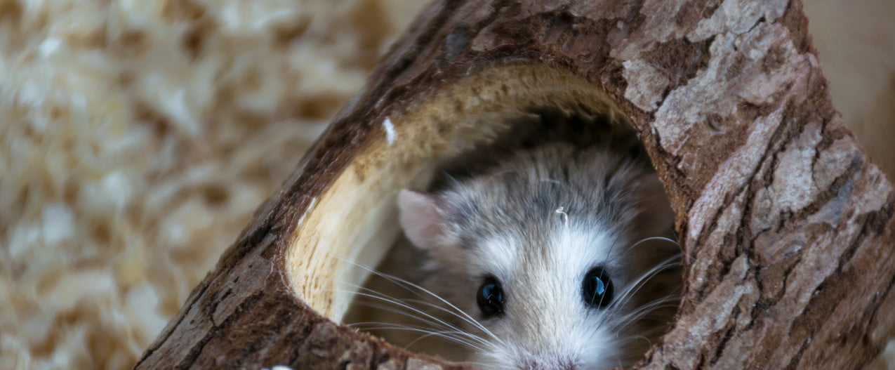 Hamster hides in his hollow log