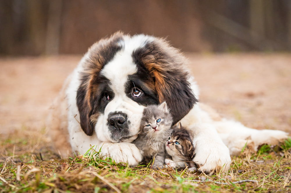 6 best large dog breeds that get along with cats   PawTracks