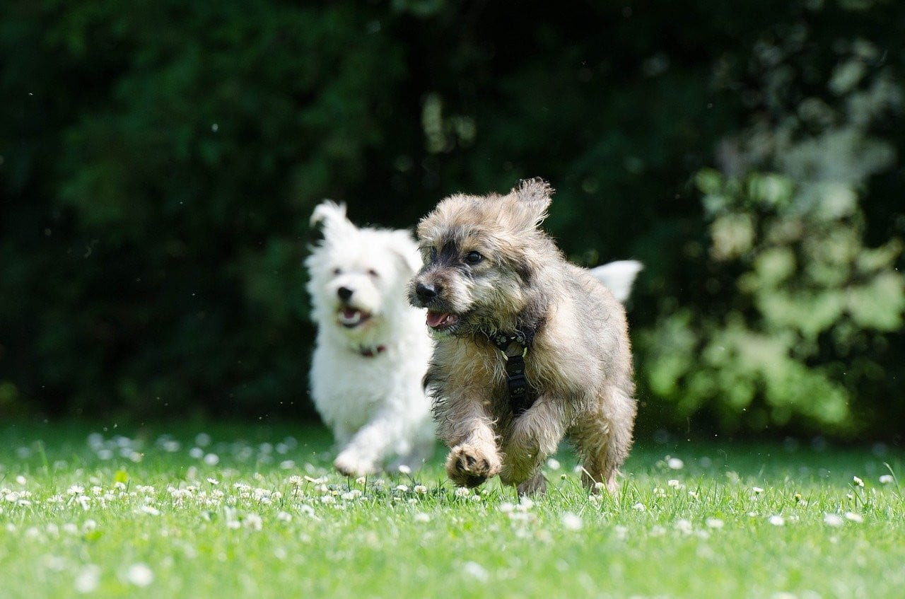 A white dog and a brown dog playing in a park.