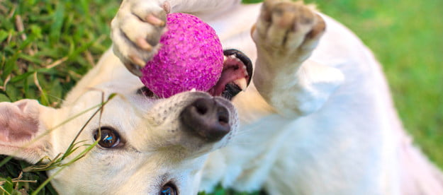 yellow dog playing with pink ball