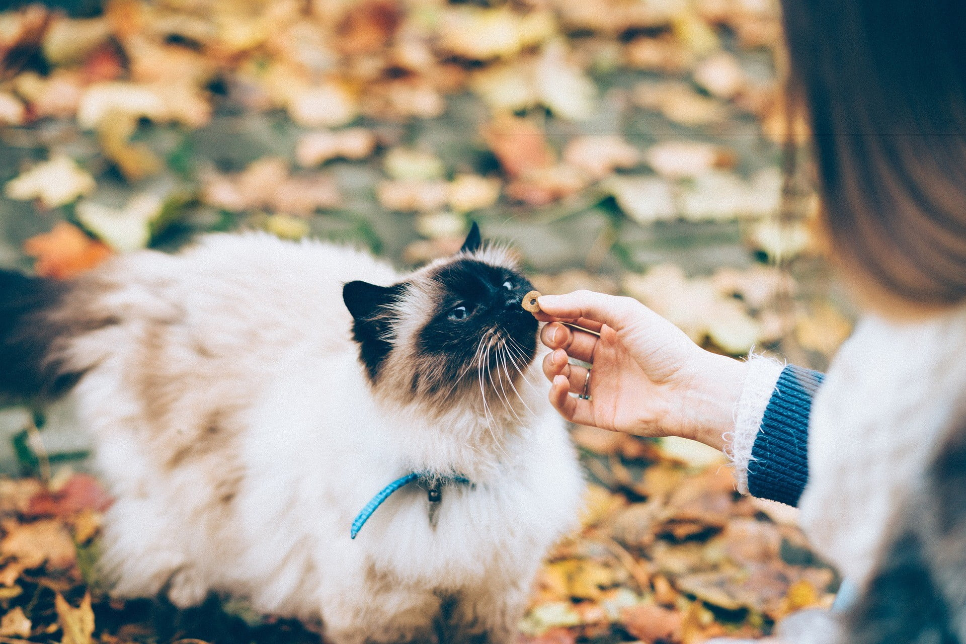 Here Are Four Ways You Can Celebrate Fall With Your Cat | PawTracks